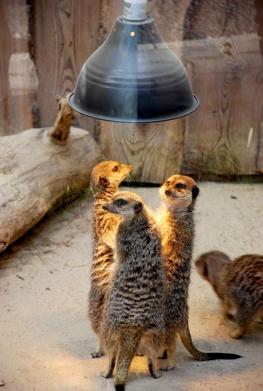 La célèbre conspiration des suricates... non en vrai ils sont juste rassemblés sous une lampe chauffante...